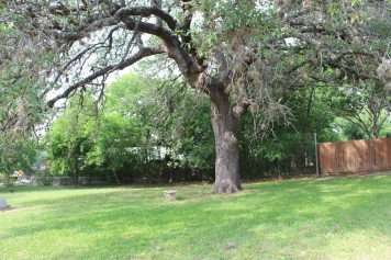 Large tree at Cemetery